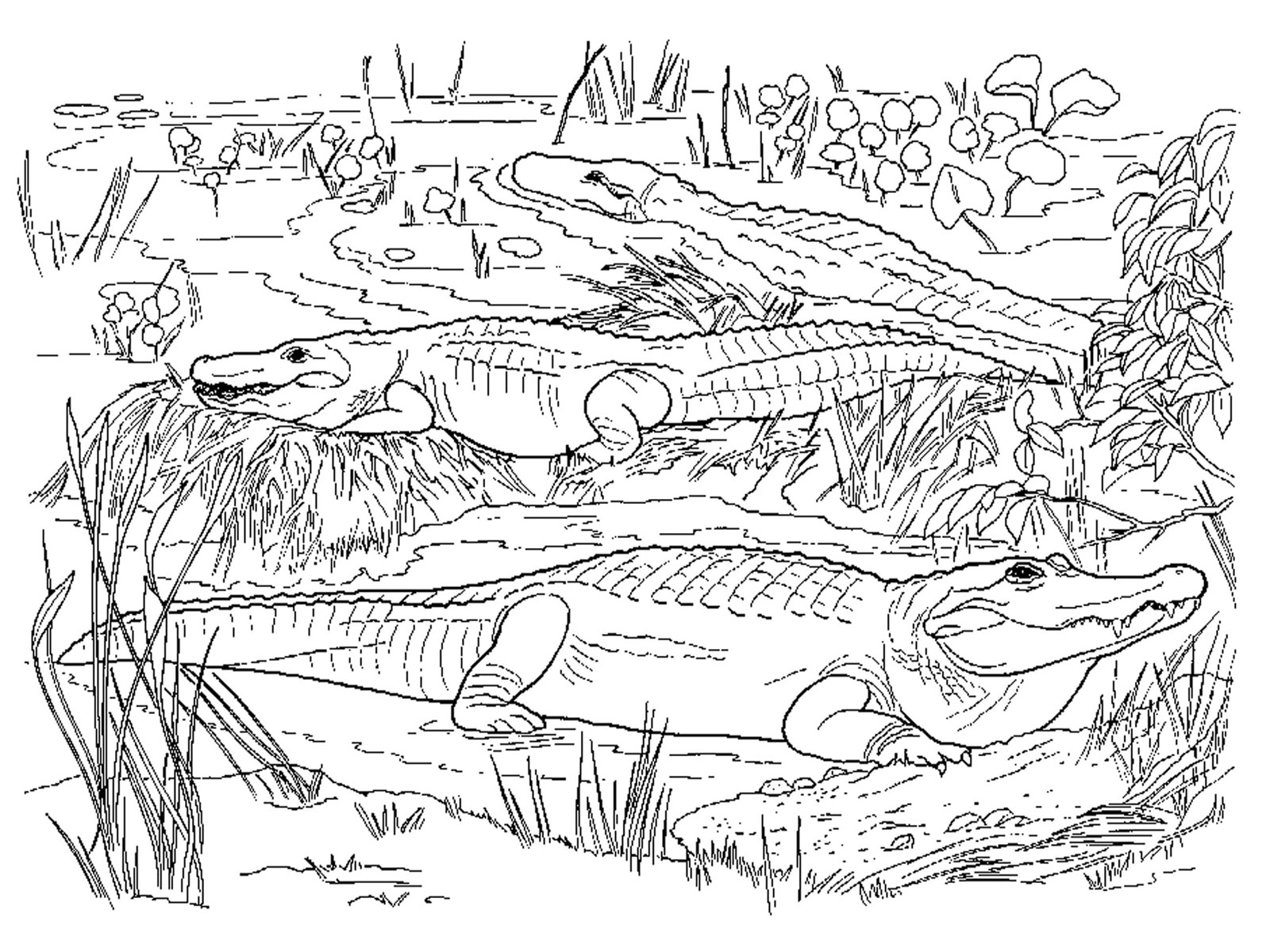 coloring pages for reptiles alligators - photo#7