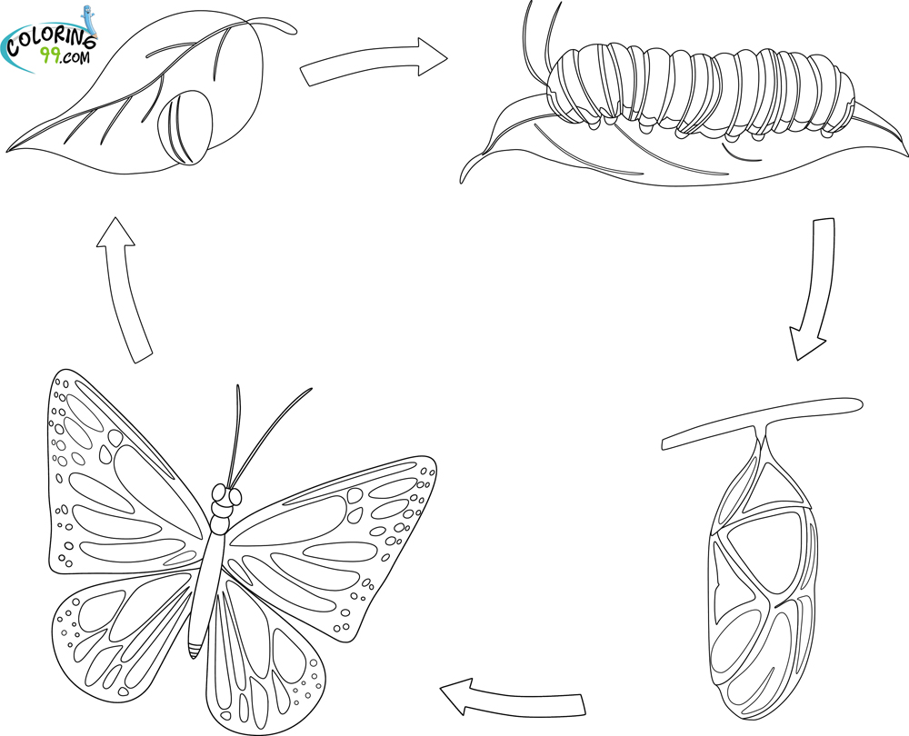Free coloring pages of butterfly life cycle - Butterfly Life Cycle Coloring Page