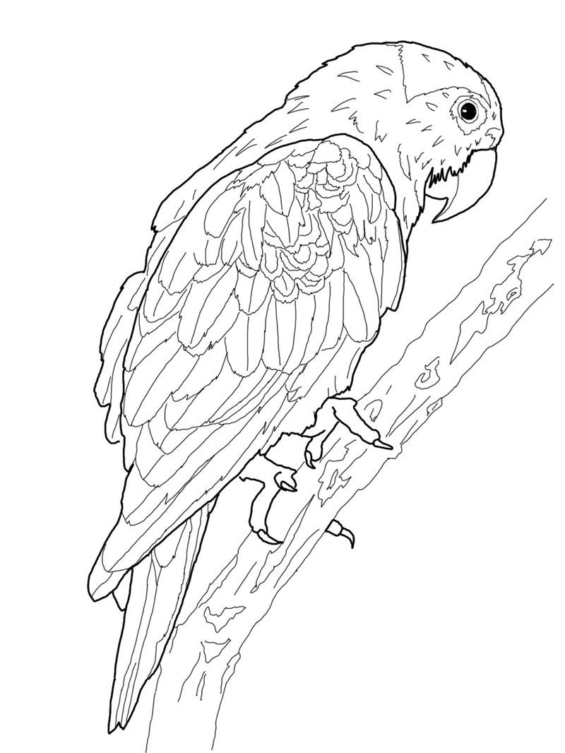 parrot coloring pages bird - photo#11