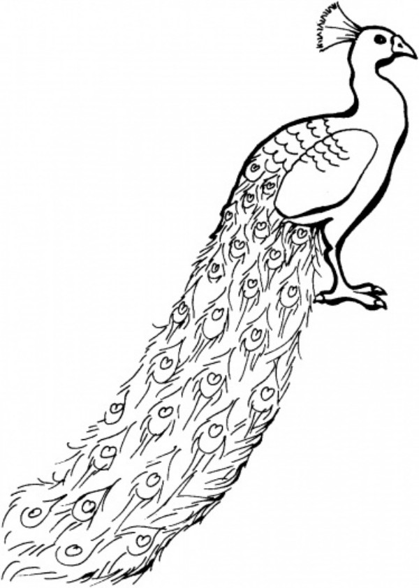 Coloring Pages of Peacock Printable
