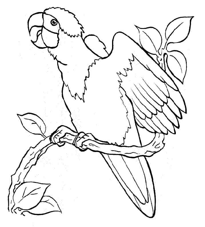 free cockatoo coloring pages - photo#5