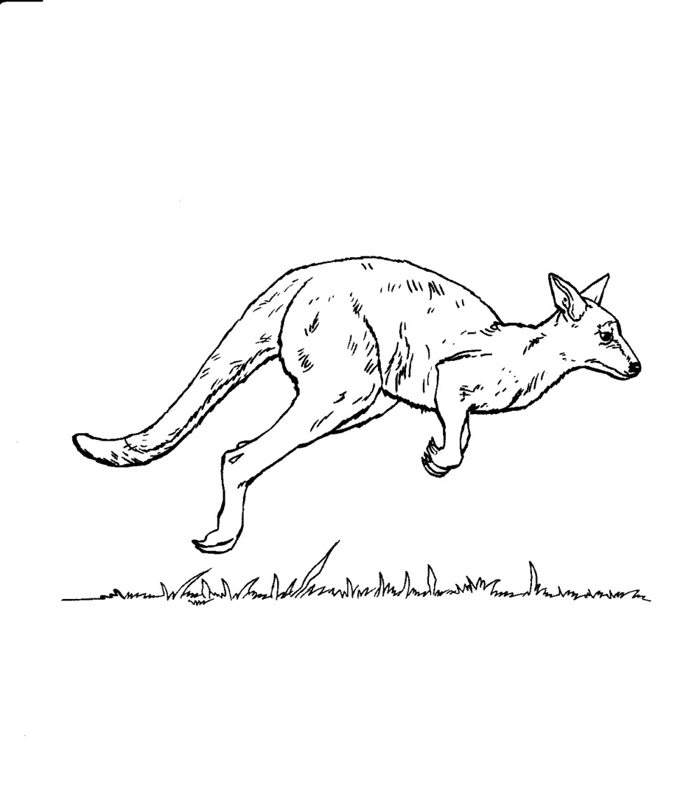 Free coloring pages kangaroo - Kangaroo Coloring Page Pictures
