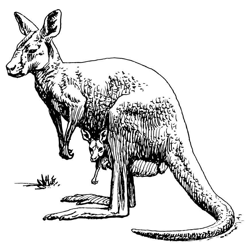 Kangaroo Coloring Pages For Kids