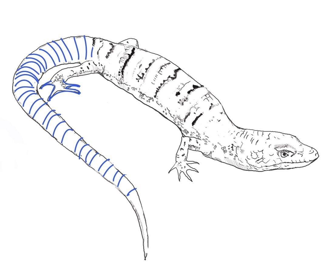 Free Printable Lizard Coloring Pages For Kids Lizard Colouring Pages