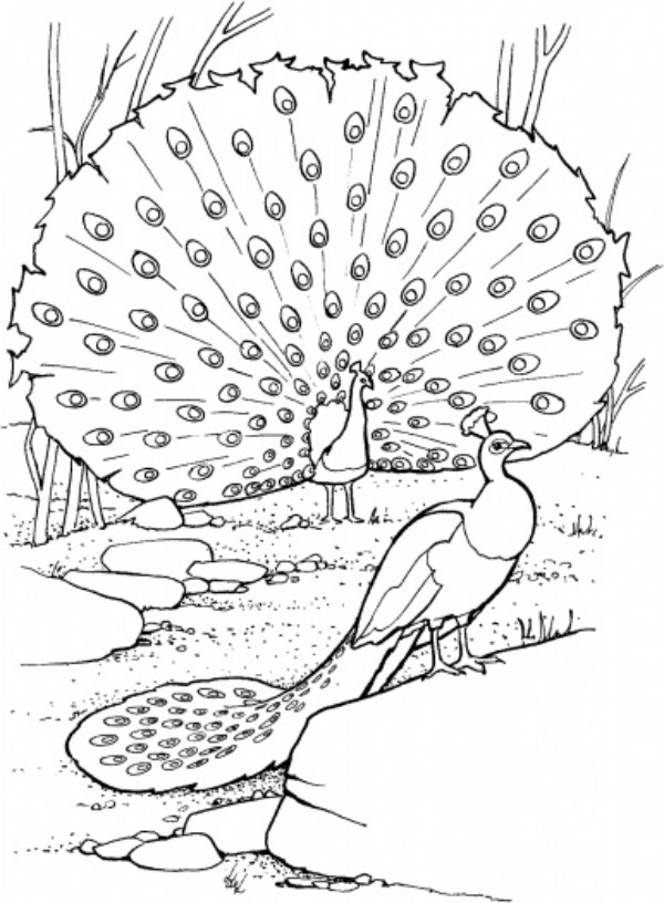 Peacock Printable Coloring Pages For Kids
