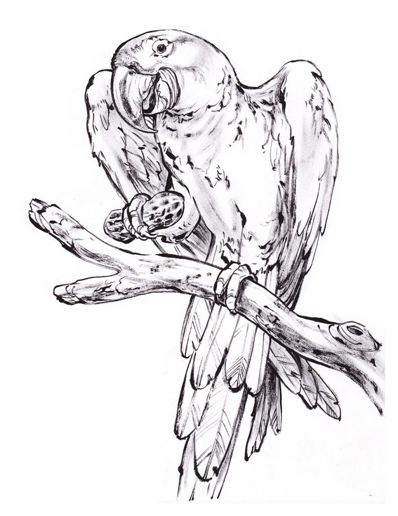 free cockatoo coloring pages - photo#27
