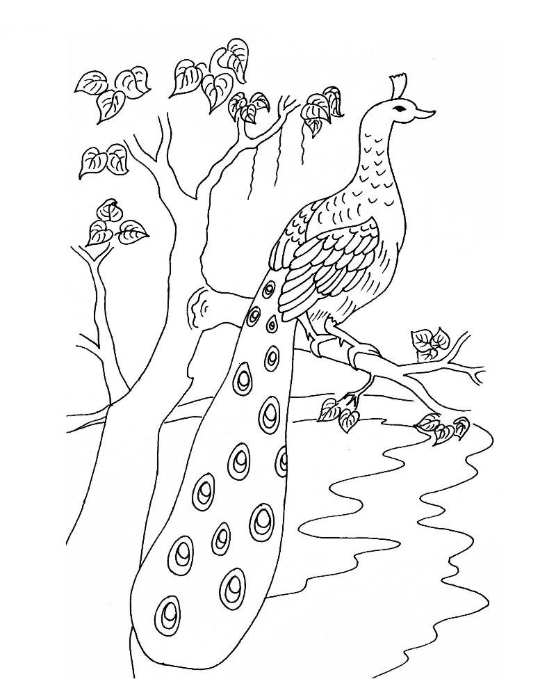 Printable Peacock Coloring Pages For Kids