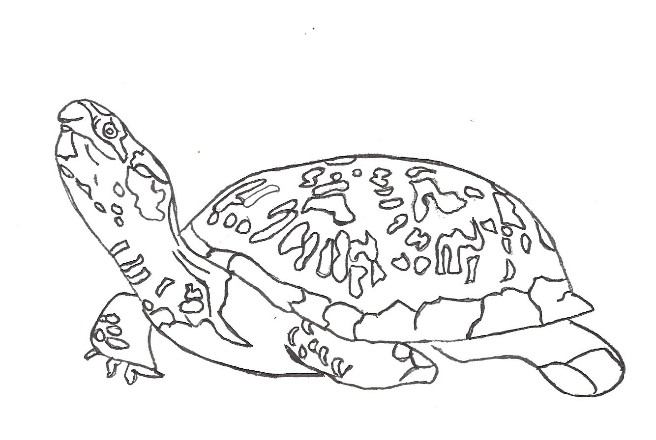 sea turtle pictures to color