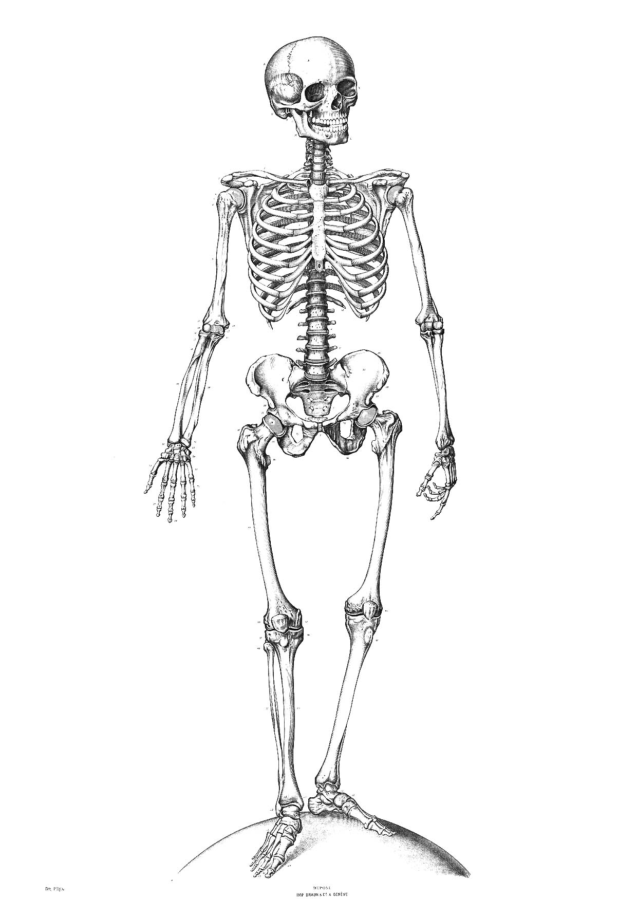 free axial skeleton coloring pages - photo#34