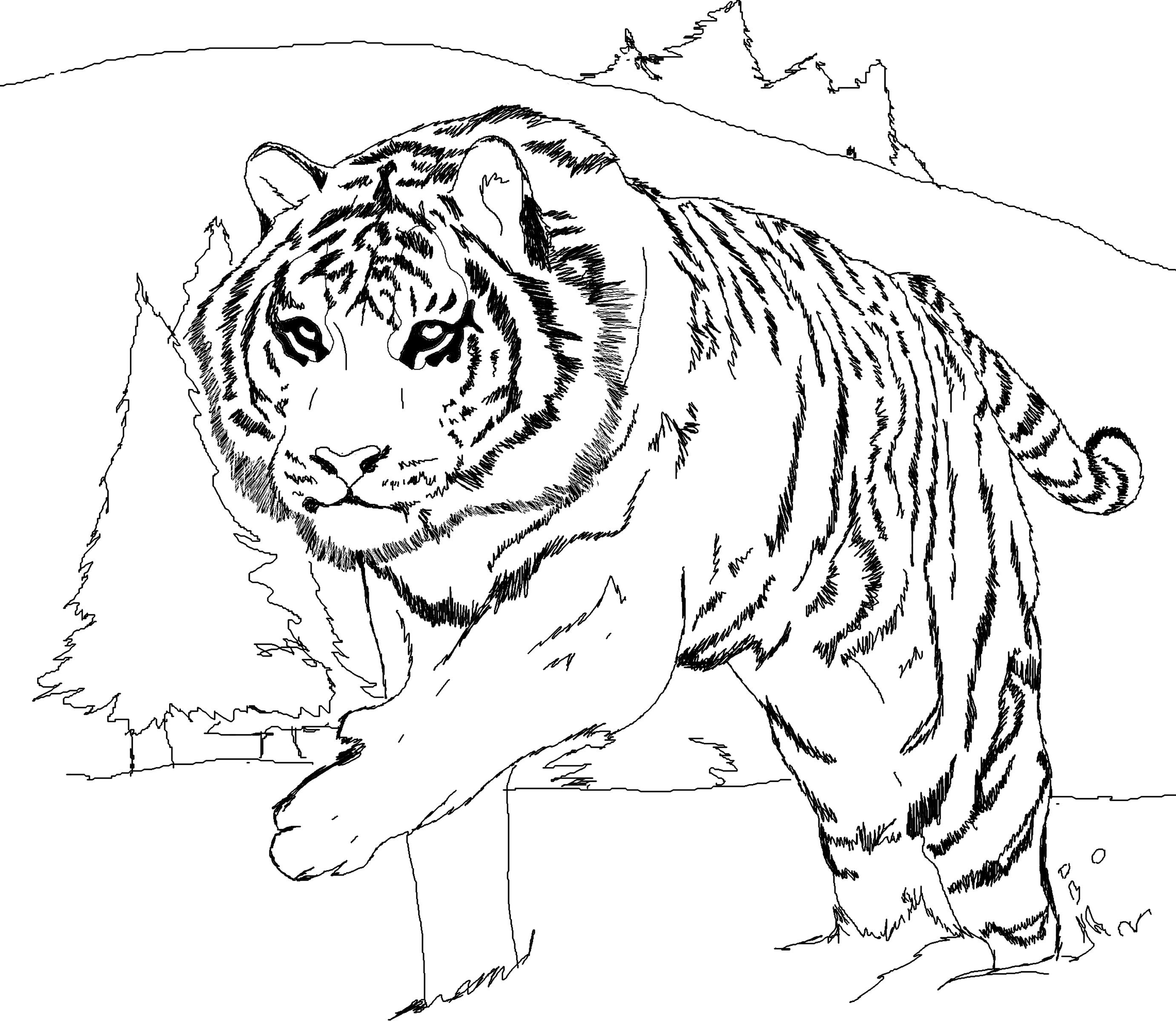coloring pages of white tigers - photo#9