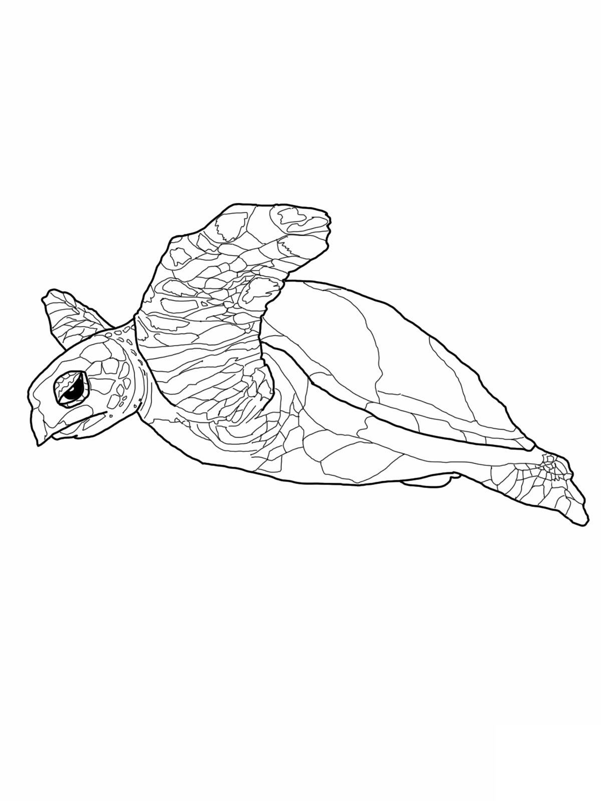 Free Printable Turtle Coloring