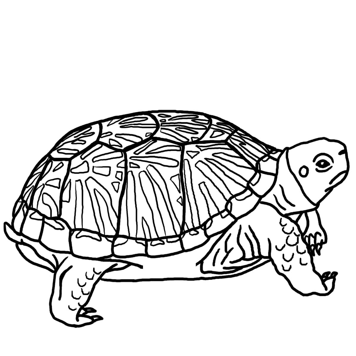 free coloring turtle pages - photo#8