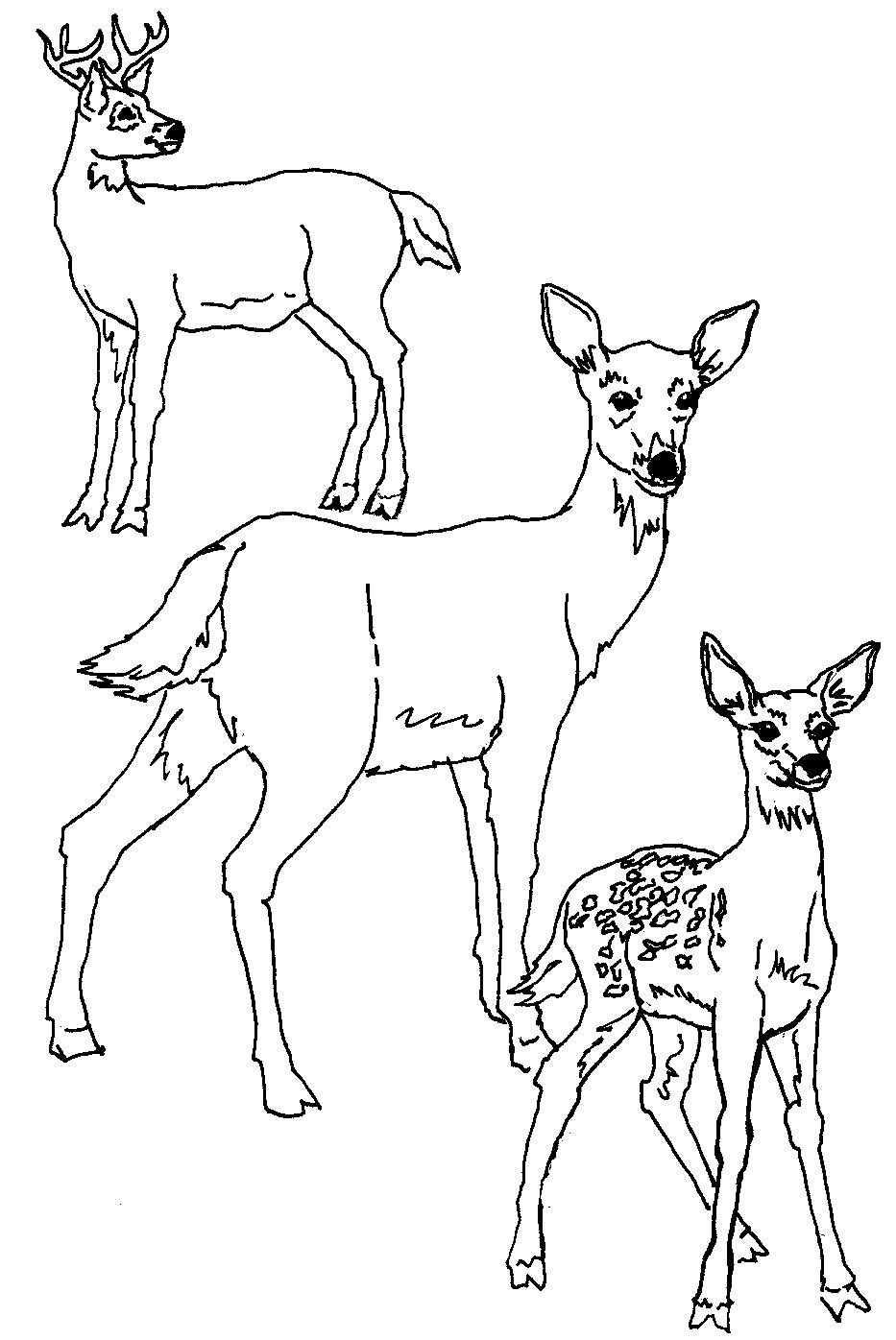 white tailed deer coloring pages - photo#3
