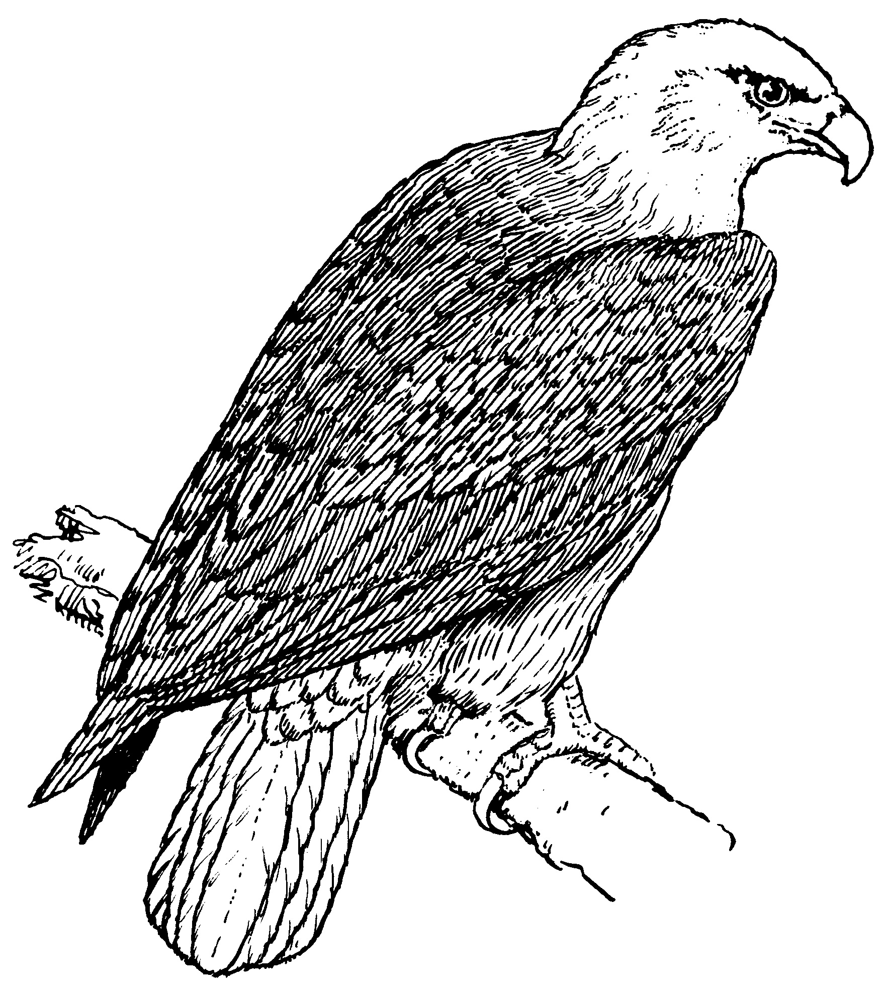 bald eagle coloring pages to print - American Bald Eagle Coloring Page