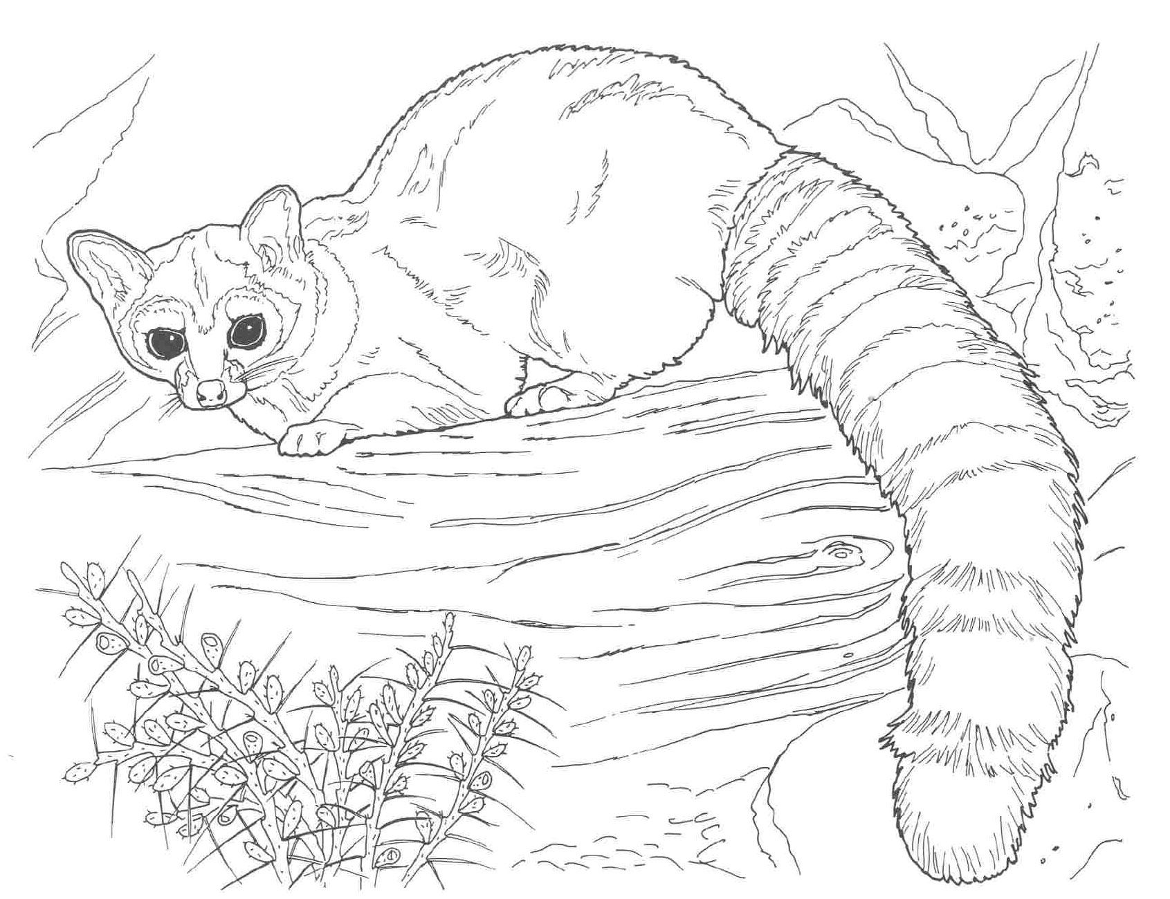 Coloring Pages Animals Realistic : Free printable raccoon coloring pages for kids