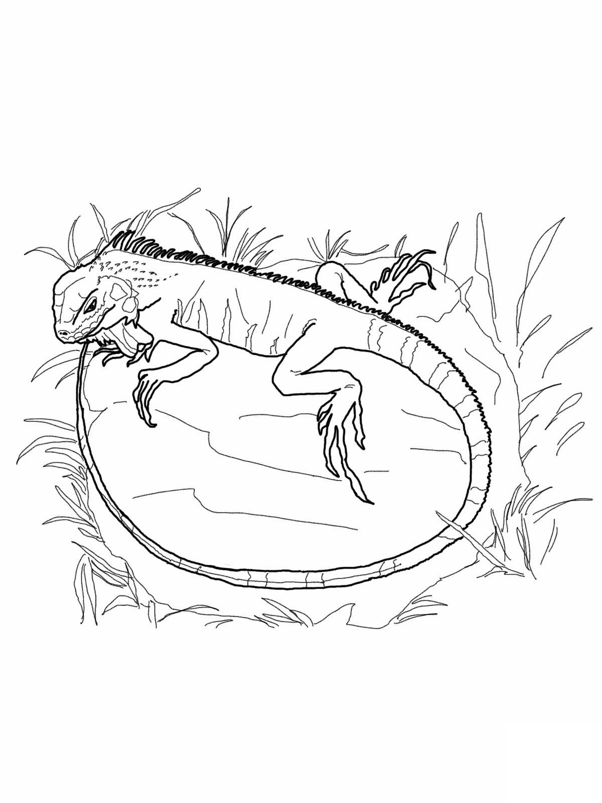 Free Printable Iguana Coloring