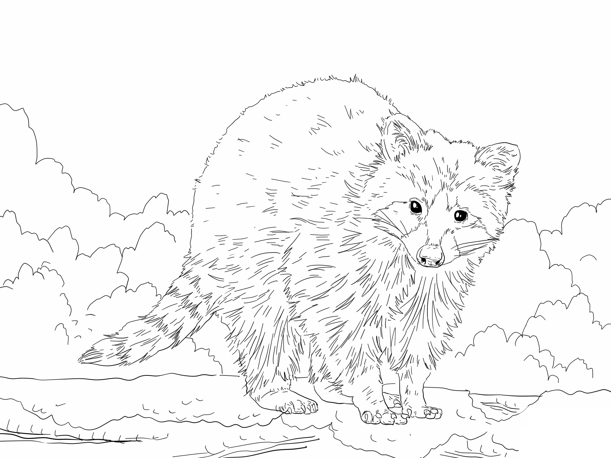 Free coloring pages raccoon