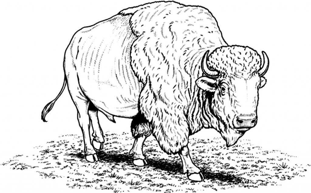 Bison Coloring Pages Images