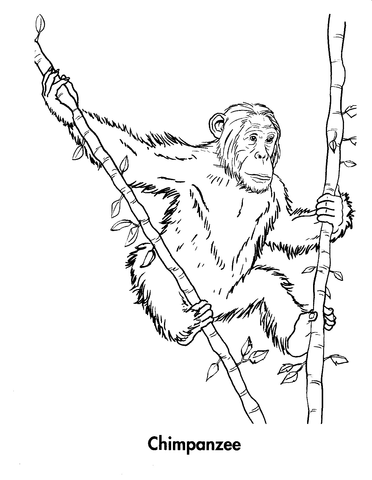 Free Printable Chimpanzee Coloring Pages For Kids - chimpanzee coloring pages