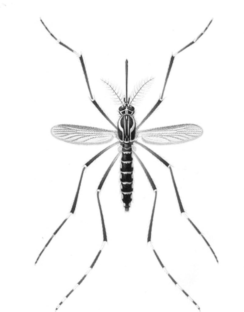 Mosquito Coloring Pages to Print