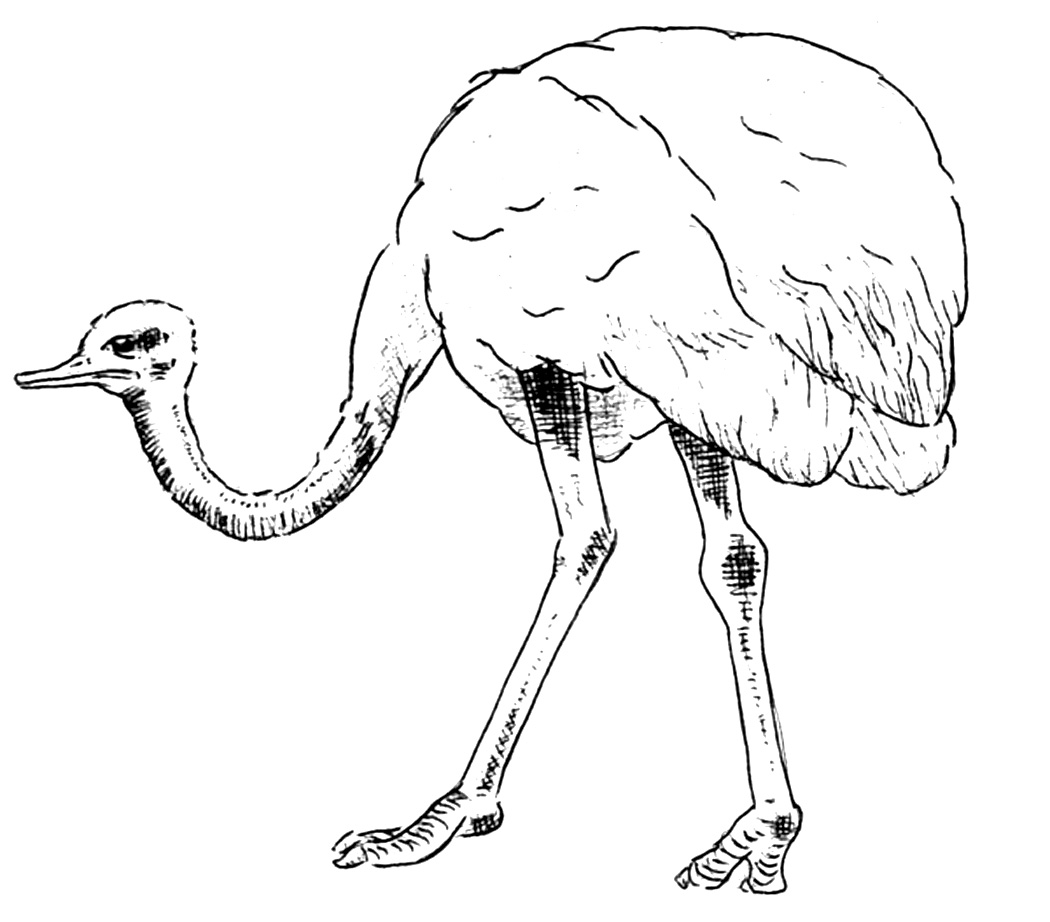 ostrich color pages