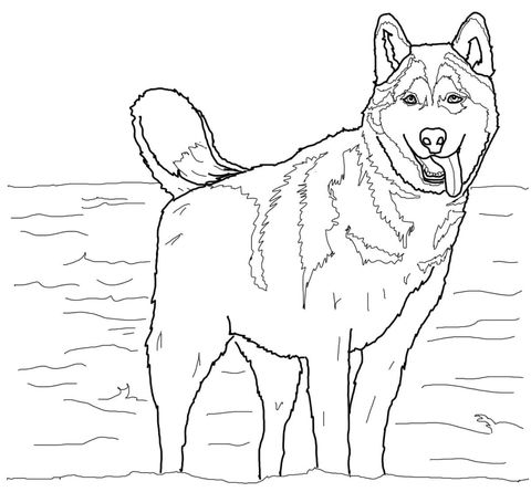 Print Free Husky Coloring Pages