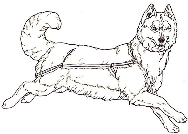 Print Husky Coloring Pages