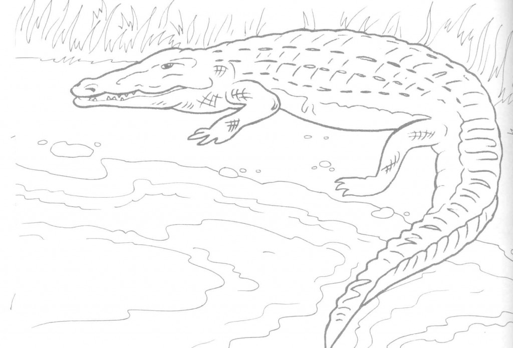 Alligator Coloring Page Picture