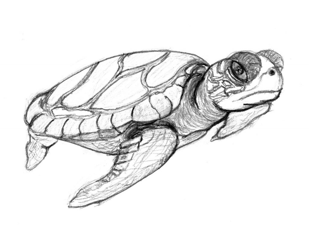 Coloring Pages of Turtles For Kids