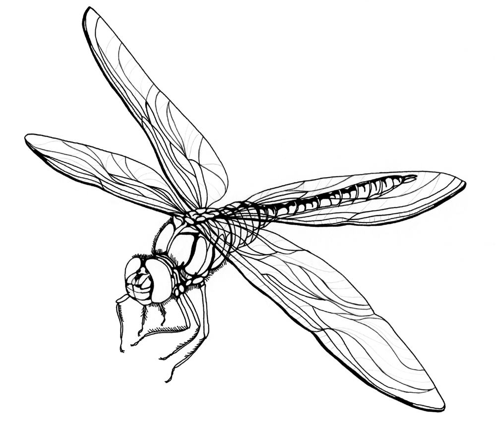 Free Printable Dragonfly Coloring