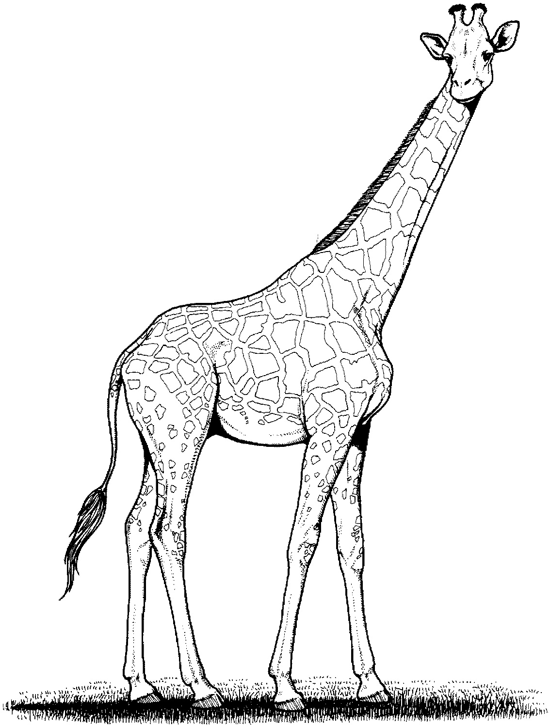 Line Drawing Ks1 : Free printable giraffe coloring pages for kids