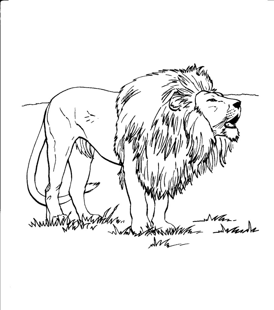 Realistic Lion Roaring Pages Coloring Pages