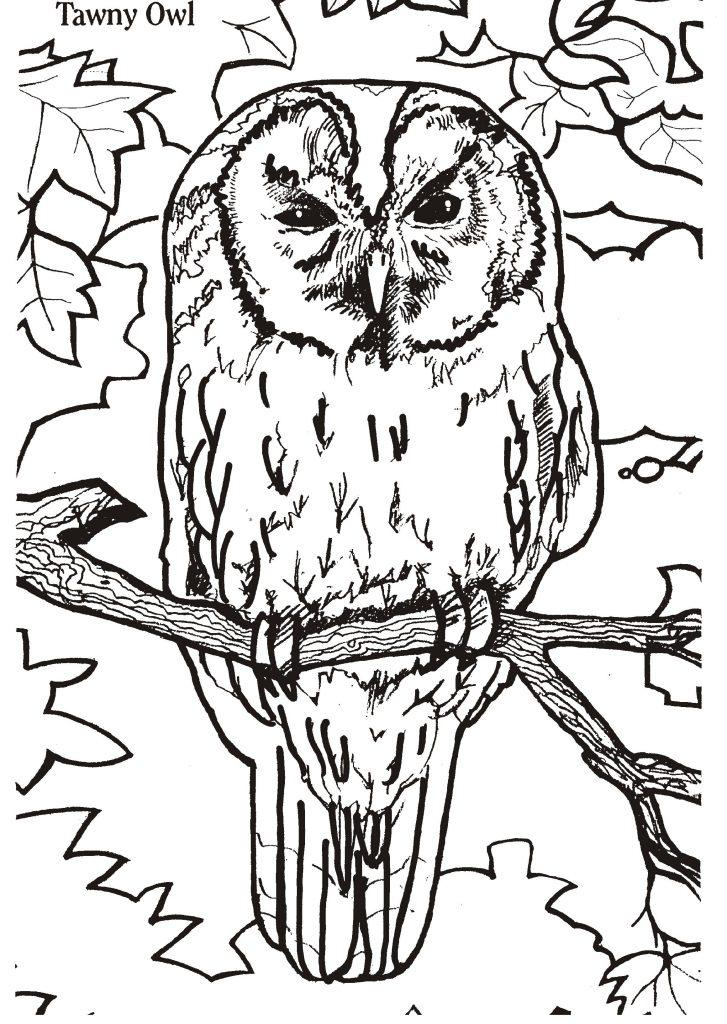 Owl Color Pages