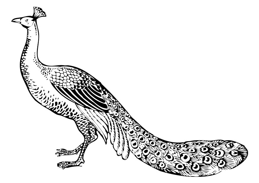 Peacock Coloring Page Printable For Kids