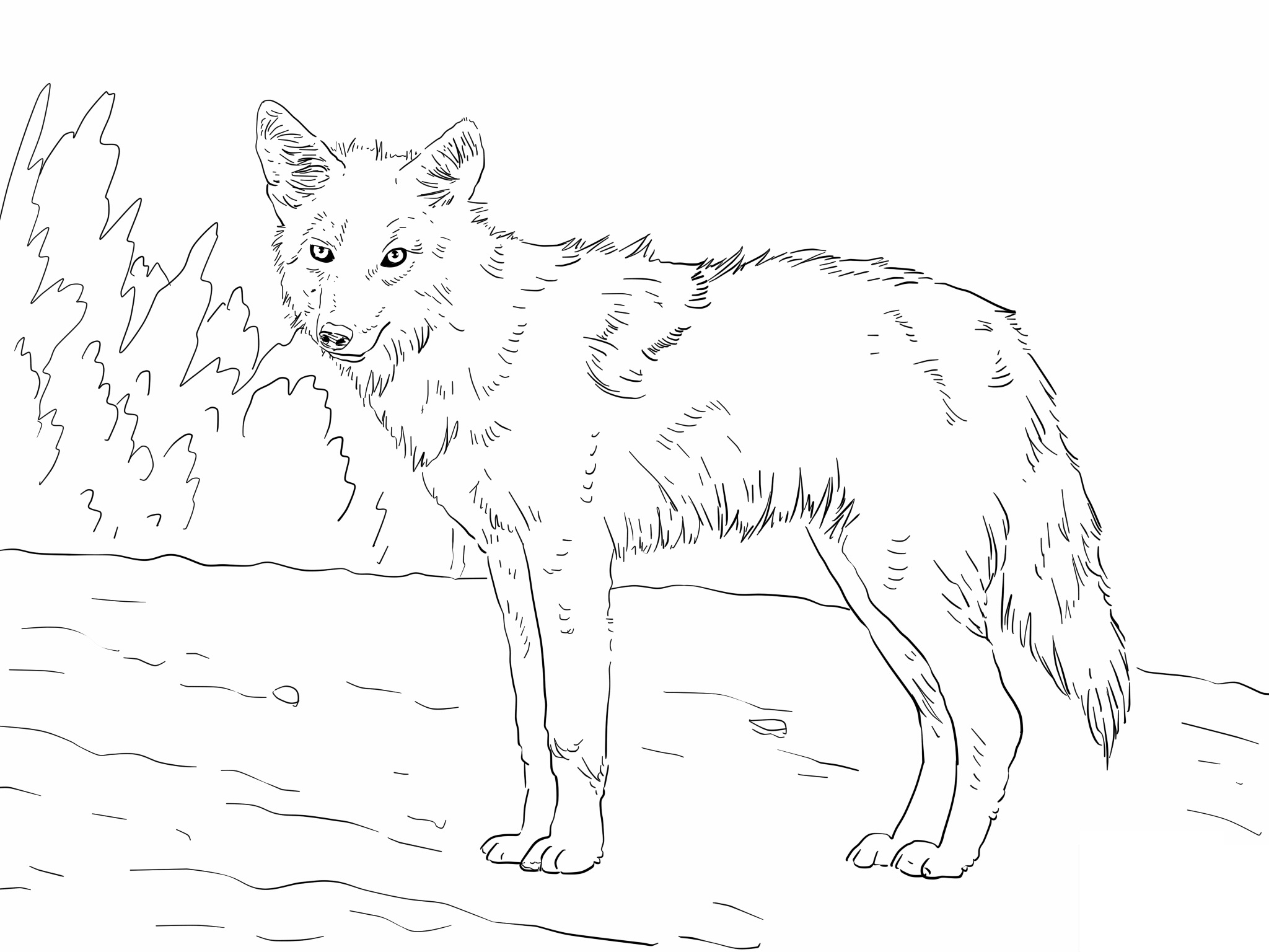 Free Printable Coyote Coloring Pages