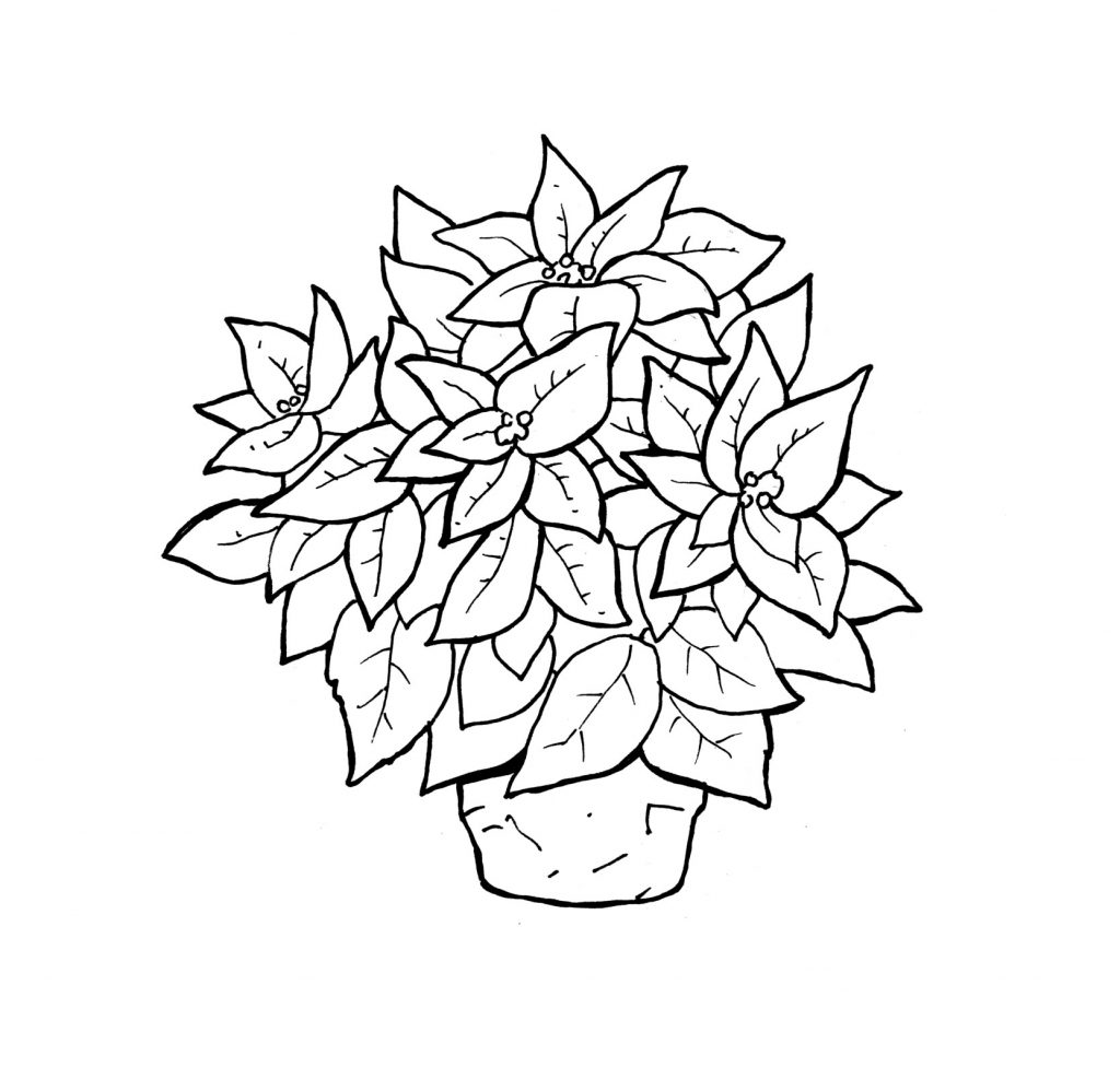 Poinsettia Coloring Pages Pictures