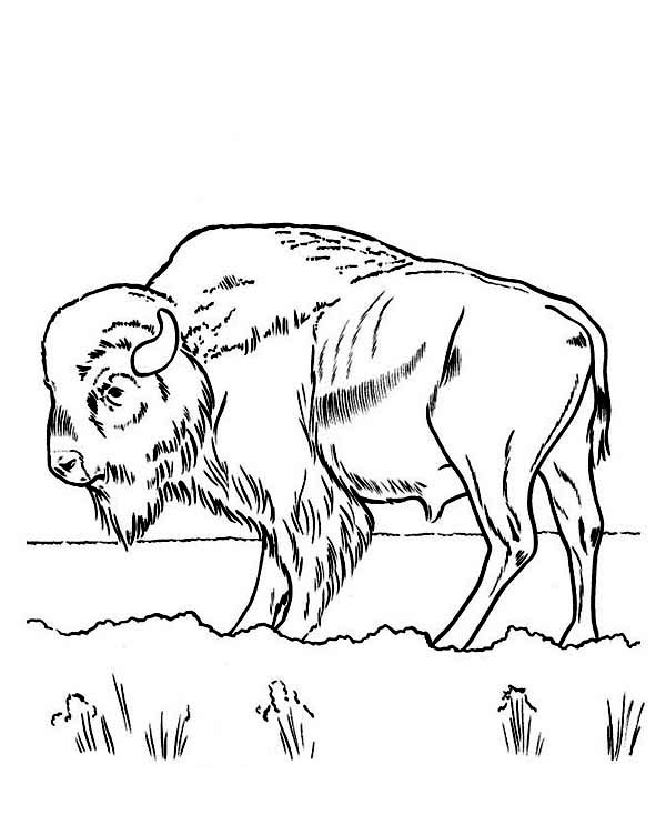 Free Bison Coloring Pages