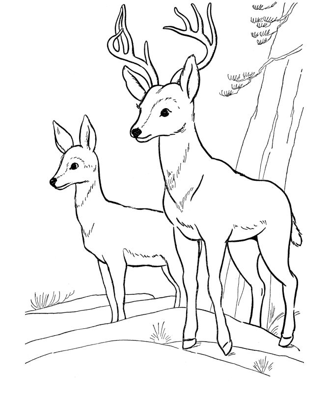 Wild Animal Coloring Pages - Deer