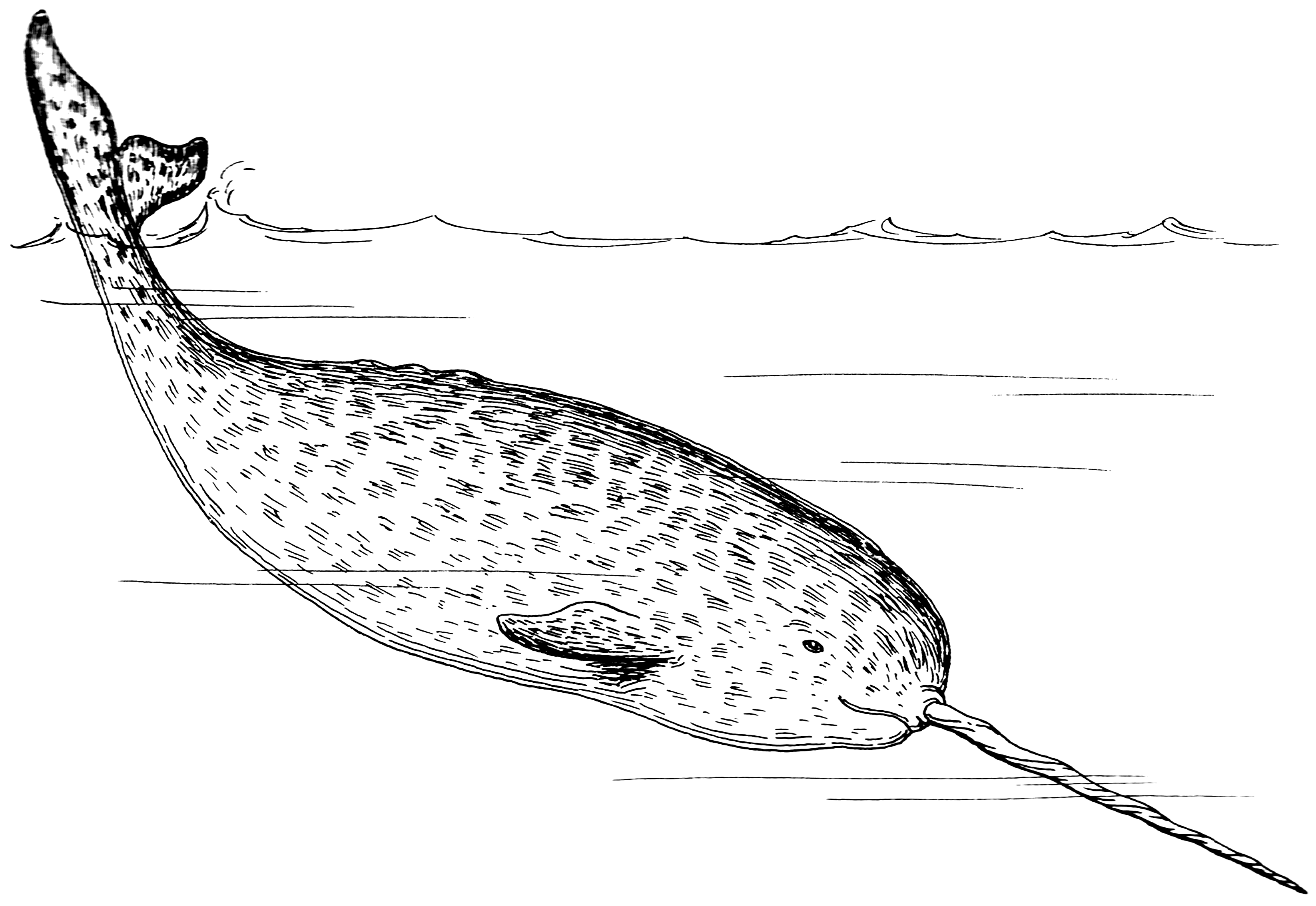 Narwhal Coloring Pages Best Coloring Pages For Kids