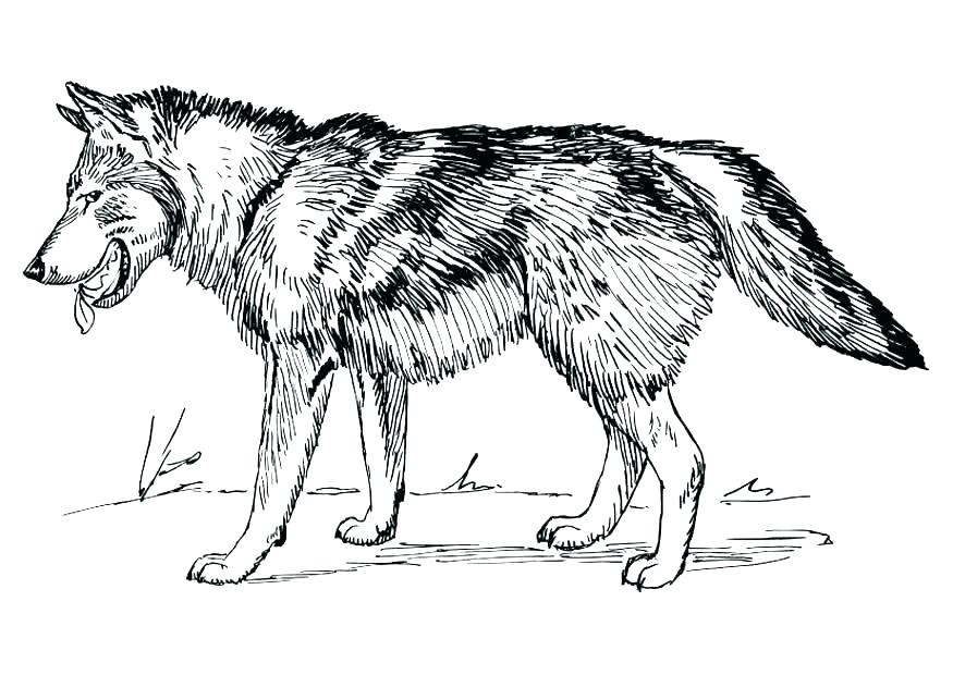 Realistic Wolf Coloring Pages for Adults