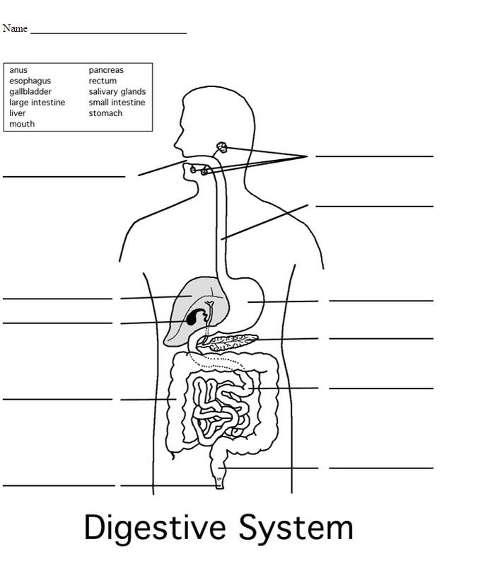 Digestive System - 4th Grade Science Worksheet