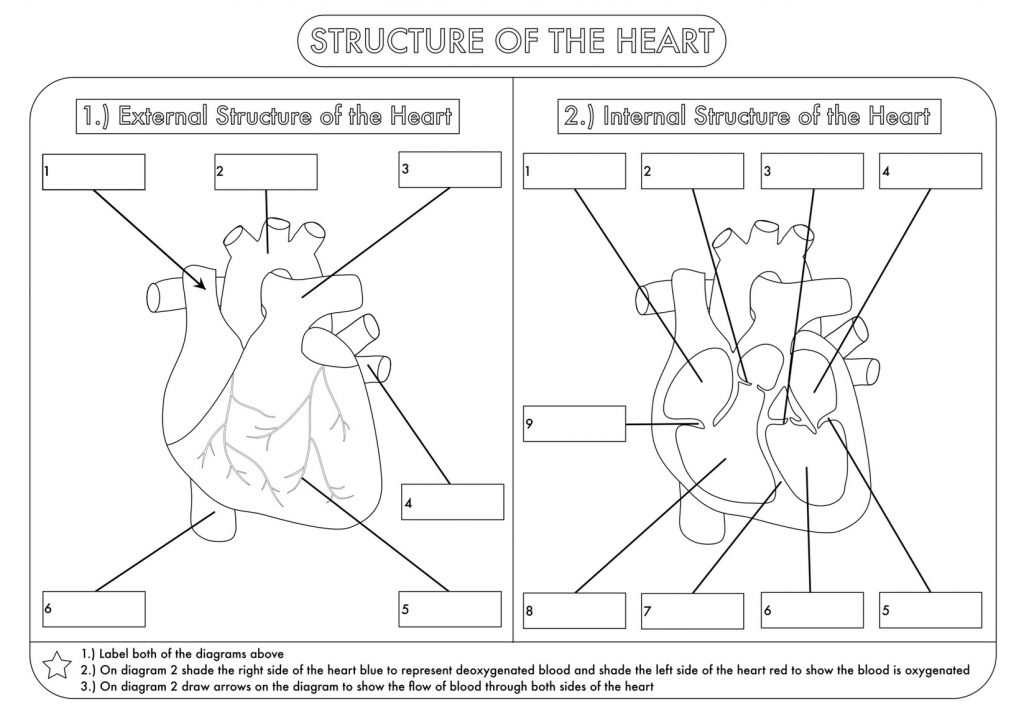 The Heart 4th Grade Science Worksheet