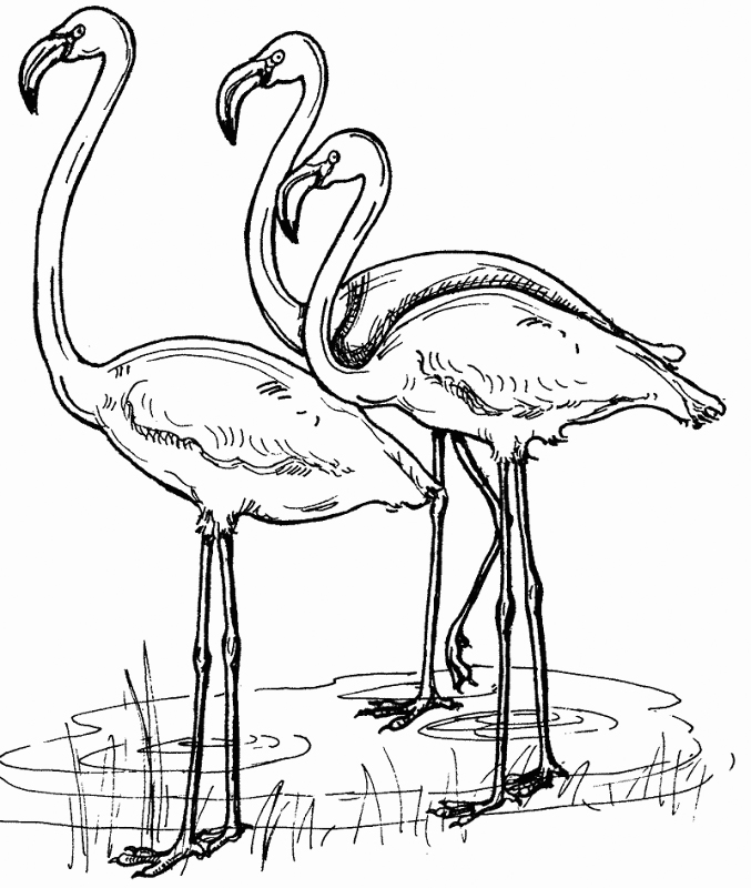Flamingos Coloring Page to Print