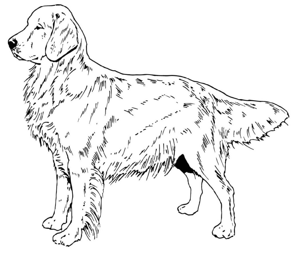 Adult Golden Retriever Printable Coloring Page