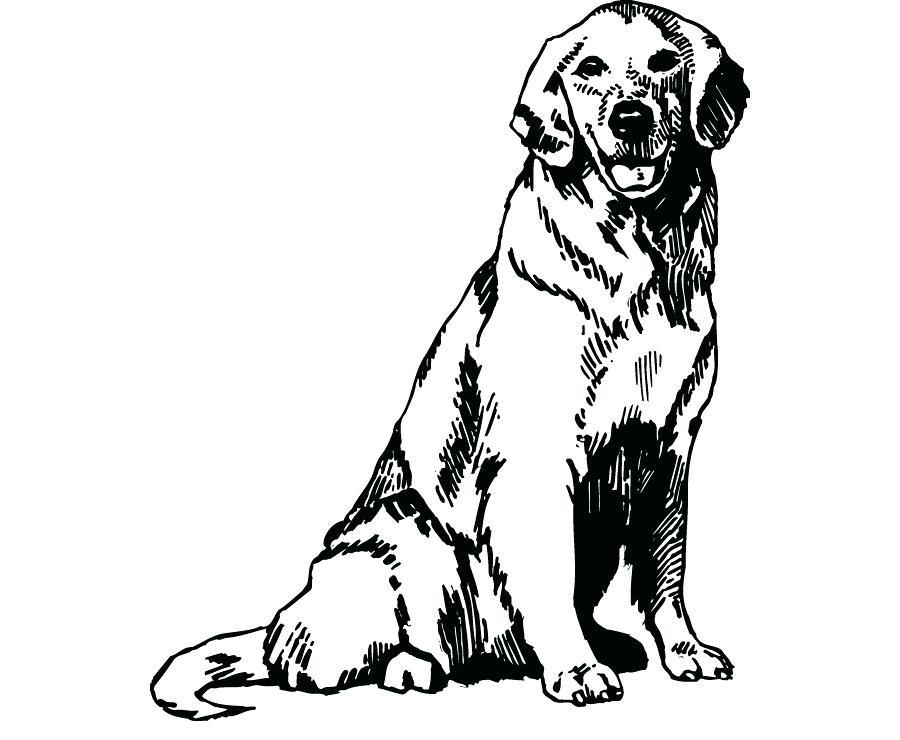 Adult Golden Retriever Sketch To Color