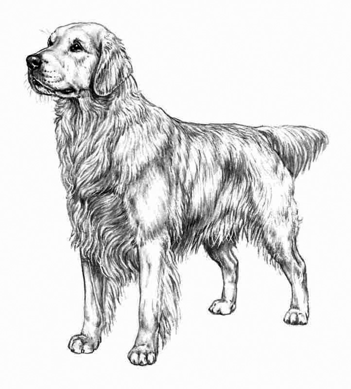 Realistic Golden Retriever Coloring Pages