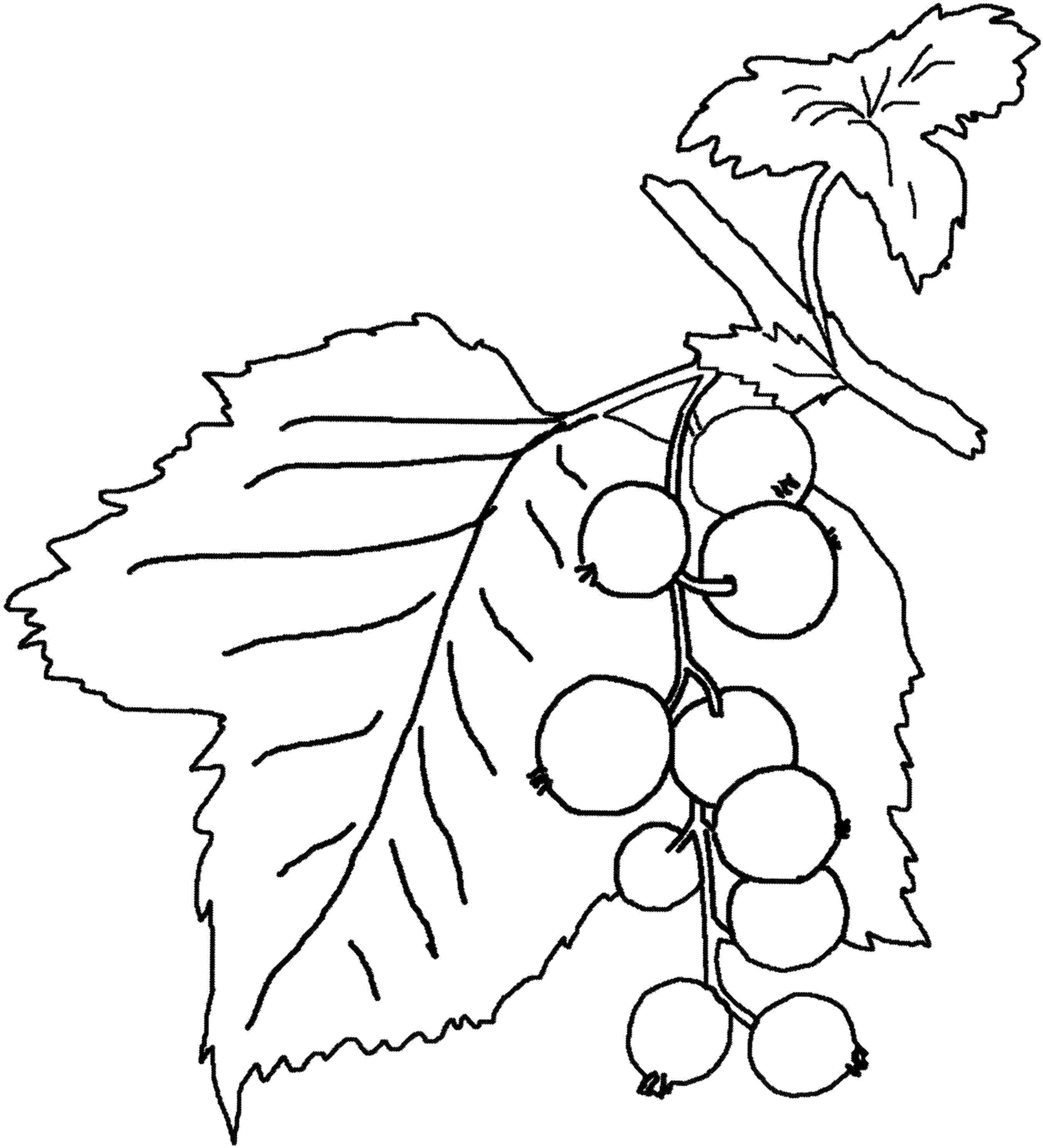 Blueberry On The Bush Coloring Pages