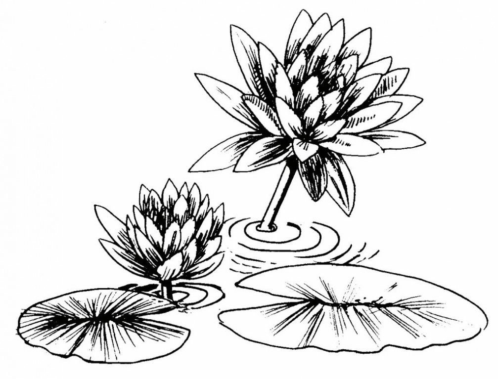 Water Lily Coloring Pages