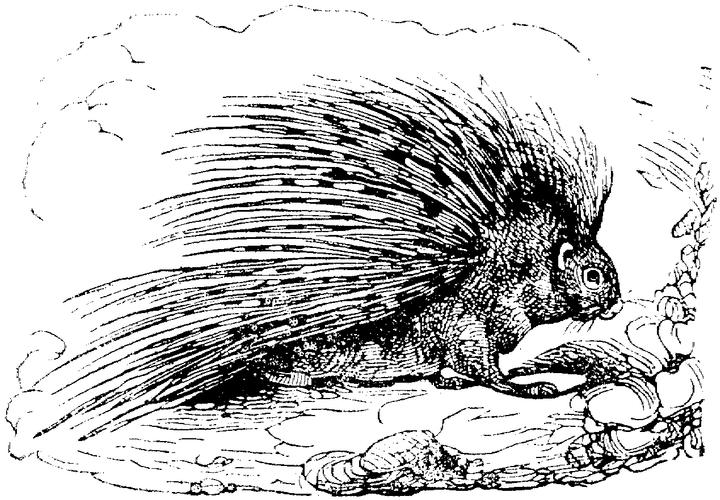 Realistic Porcupine Coloring Pages