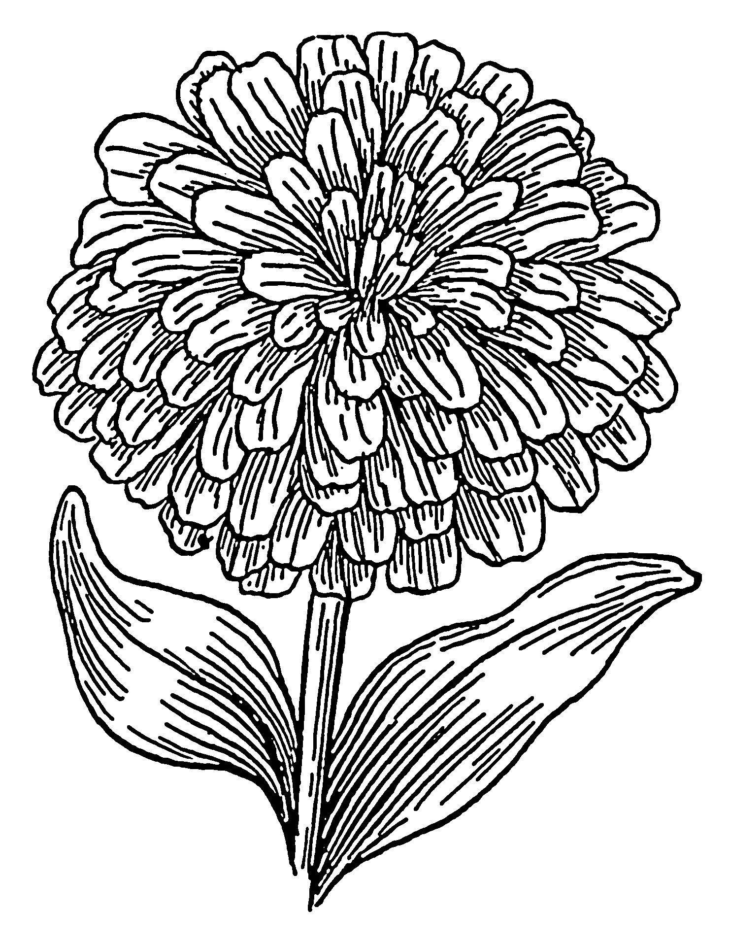 Zinnia Coloring Page